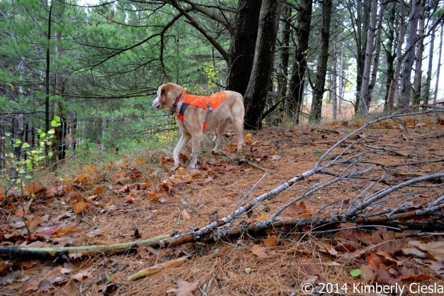 Be Safe! Be Seen! With the Ruffwear Track Jacket™ – Low Light and Hunting Safety for your dog.